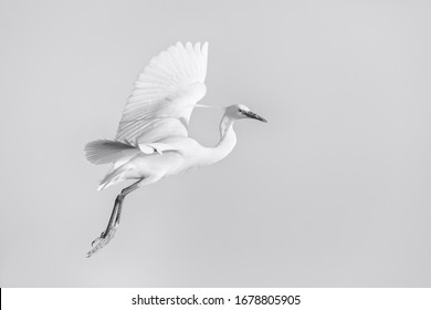 The little egret in flight. Beautiful white egret from Kerkini lake in Greece.