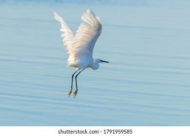 Little Egret in Flight (Egretta garzetta) Small White Heron