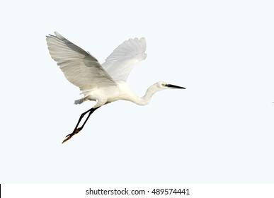 Little Egret in Flight on White Background, Isolated