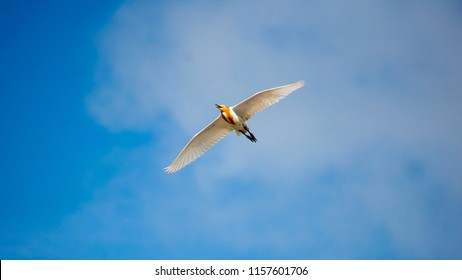 Little Egret Flying in open blue sky