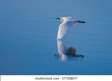 A little egret gliding across water