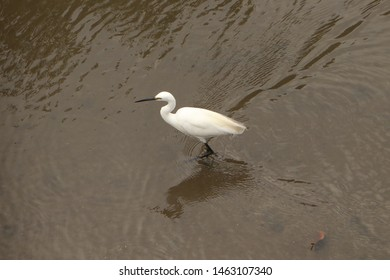 Little egret has a white feather, black beak,& come in smaller size compared with other egret. It can be seen walking in a mangrove forest searching for fish as food.I take this one in Pemogan, Bali.