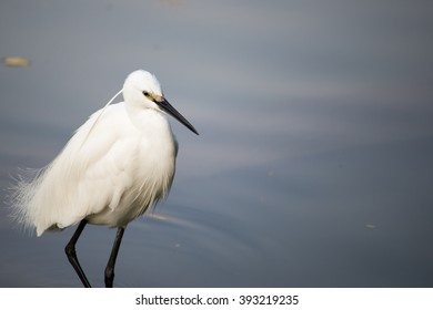 Little Egret, keep walking.