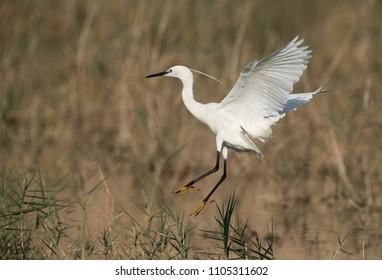Little Egret landing on the grasses, Bahrain