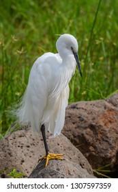 Little Egret on African safari
