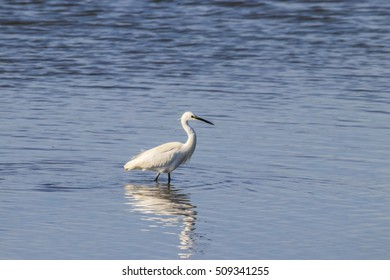 "Little egret perching in wetlands in natural area ""Marismas del Odiel"", Huelva, Andalusia, Spain"