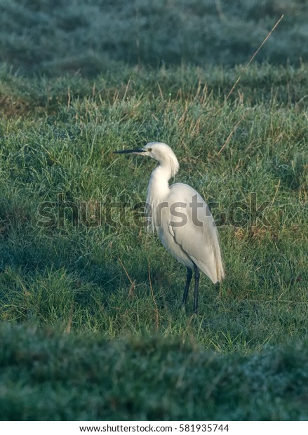 Little Egret portrait  standing in field