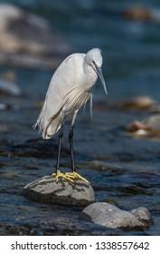 Little egret roosting on boulder
