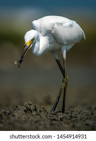 little egret with small filsh