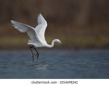 "The little egret is a species of small heron in the family Ardeidae. The genus name comes from the Provençal French Aigrette, ""egret"", a diminutive of Aigron,"" heron"""
