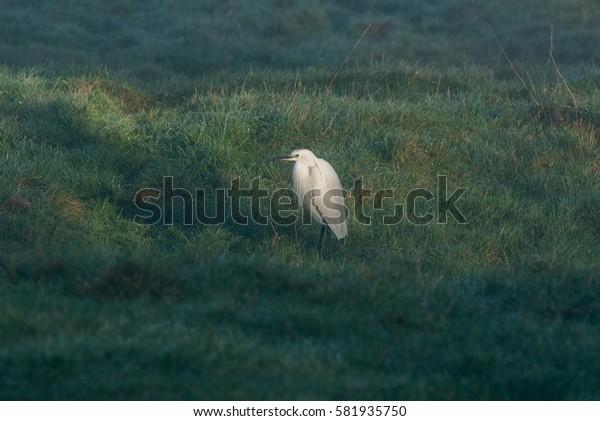 Little Egret standing