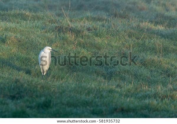 Little Egret standing in field left side