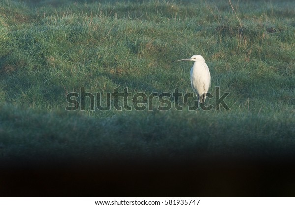 Little Egret standing in field looking left