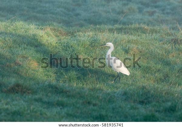 Little Egret standing in frosty field