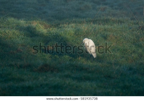 Little Egret standing in grass