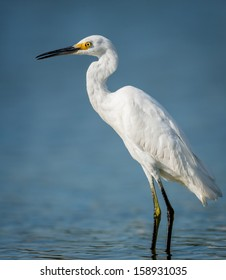 Little egret standing in the waters of Jamaica Bay Wildlife Refuge, Queens, New York. This heron family bird was photographed when having a rest while fishing.
