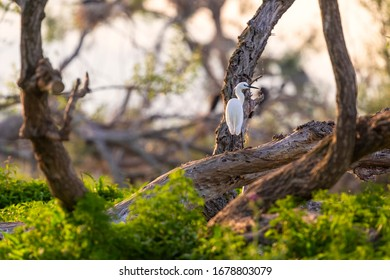 The little egret stands on a branch. Beautiful white egret in its natural environment of Kerkini lake in Greece.