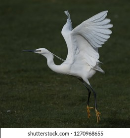Little Egret taking off