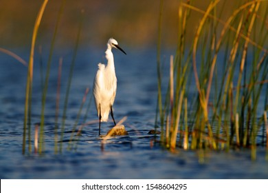 The little egret from Vransko jezero - Shutterstock ID 1548604295
