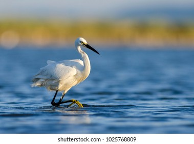 Little Egret walking in the water with soft background of lake, reeds and sky on a warm summer sunset in the wetland.