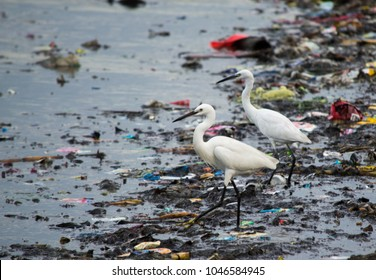 Little Egrets in the midst of assorted plastic and rubber waste in the Philippines