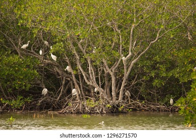 Little Egrets and striated heron and sea swallow in mangrove trees and mangrove forest a tranquil scenery