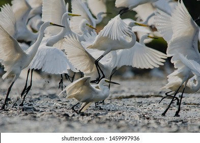 Little egrets are a type of bird from the Ardeidae tribe. Called Little Egret in English, this bird has its 'twin' in the New World, which is snow egrets or Snowy Egret from the Caribbean