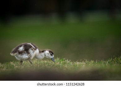 little Egyptian goose chick wilking about