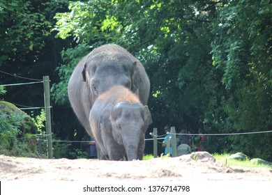 Little elephant with its mother outside in the Blijdorp zoo in Rotterdam the Netherlands