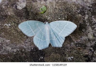 Little Emerald moth ( Jodis lactearia ). Sitting on a rock.