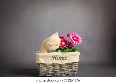 Little exotic kitten  on a grey background with flower on basket
