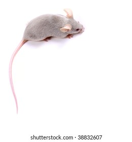 Little fancy mice on a white background - you can use as a a background or a frame