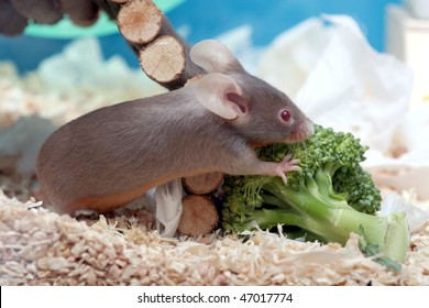 little fancy mouse eating broccoli