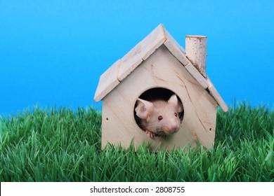 little fancy mouse in a little wooden house on green grass