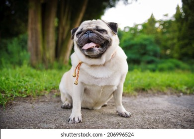 Little fat pug with closed eyes sitting on a grass in a summer park.