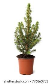 Little fir tree in pot on white background