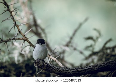 Little fiscal shrike/bird in africa sitting on a branch surrounded by torns and flies in the background. Bird, africa, safari, torn concept.
