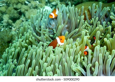 Little fish hide in green coral