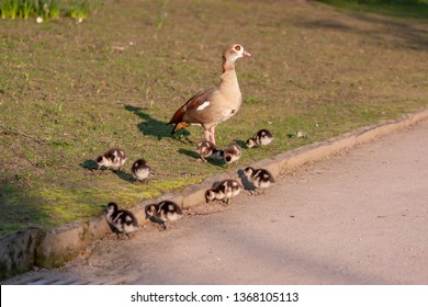 Little fledglings of an egyptian goose with their mother at breakfast in the park in the morning sun