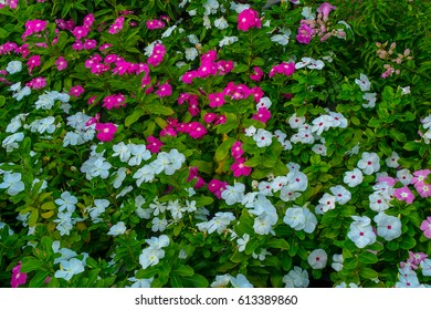 little flower pink and white decorate in garden.