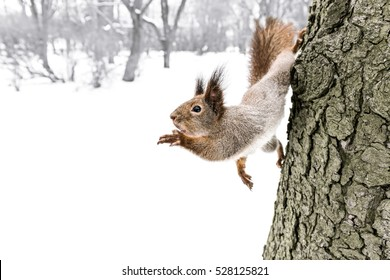 little fluffy grey squirrel reaching for nut holding to tree trunk in winter forest