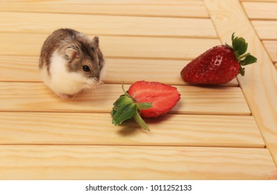 A little fluffy hamster tries to eat strawberries