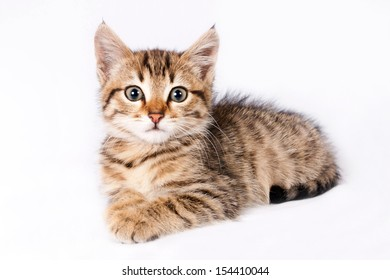 Little fluffy kitten British lies on a isolated white background