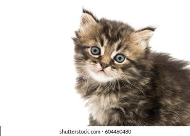 Little fluffy kitten isolated on white background
