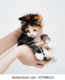 Little fluffy kitten Maine Coon passed from hand to hand. Kitten in hands