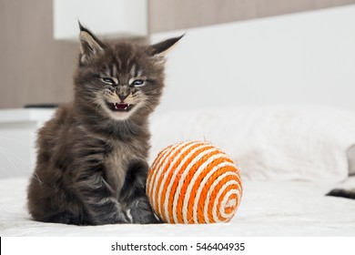 Little fluffy kitten Maine Coon plays with a ball.