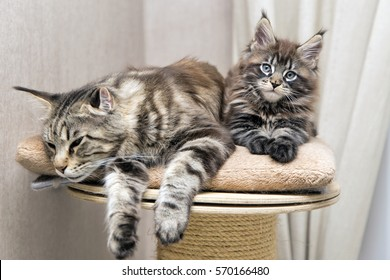 Little fluffy kitten Maine Coon with his mother playing.
