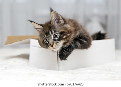 Little fluffy kitten maine coon plays with the box.