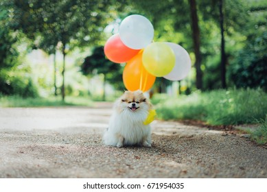 Little fluffy pomeranian dog with balloons in the park
