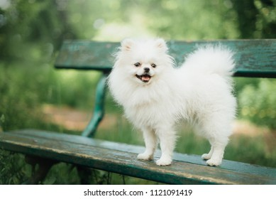Little fluffy pomeranian dog in the park